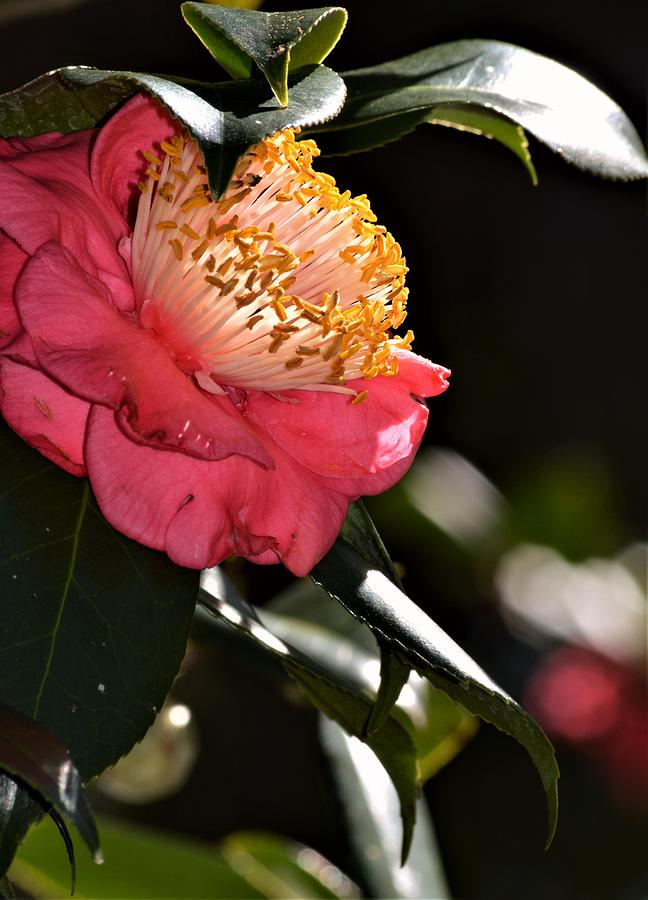 Camellia Light by Warren Thompson