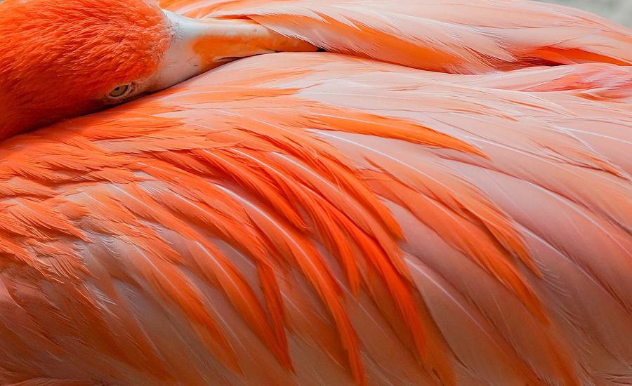 Caribbean Flamingo by Susan Rydberg