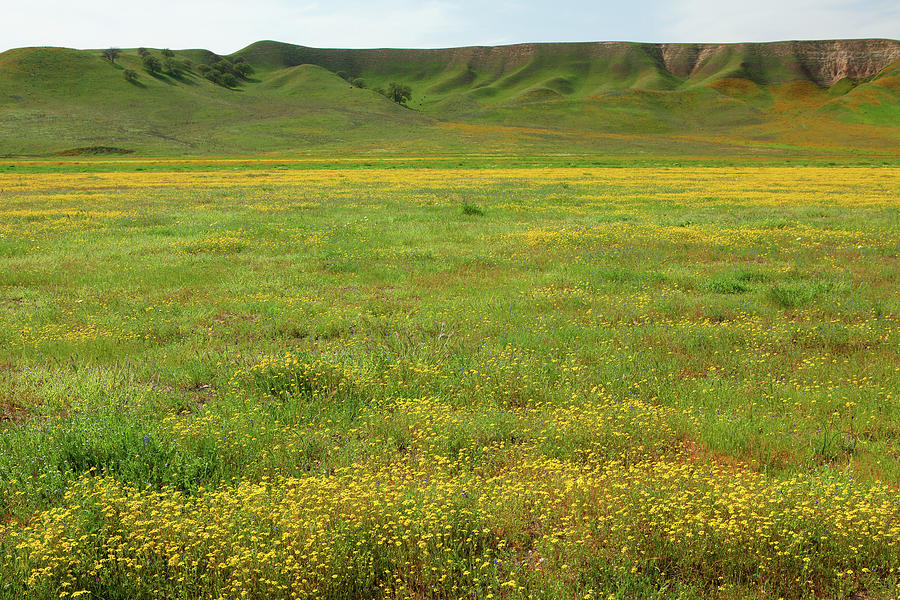 Central California Wildflowers Photograph
