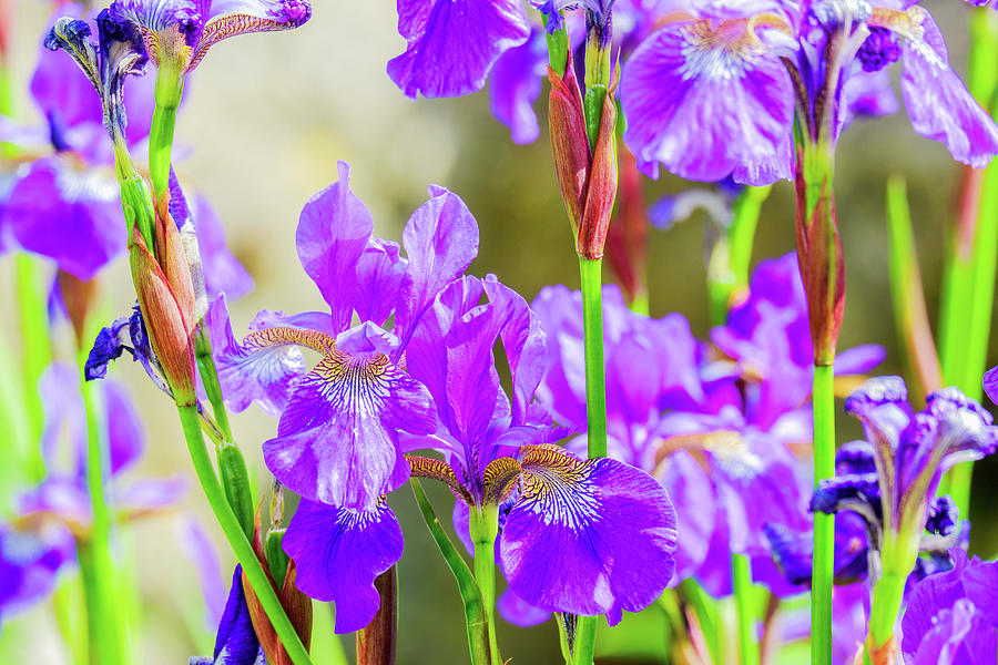 Close Up A Of Group Of Iris Flowers Photograph