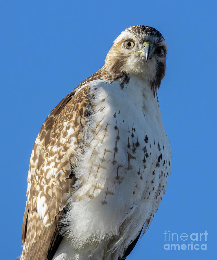 Colorado Red-tailed Hawk Photograph