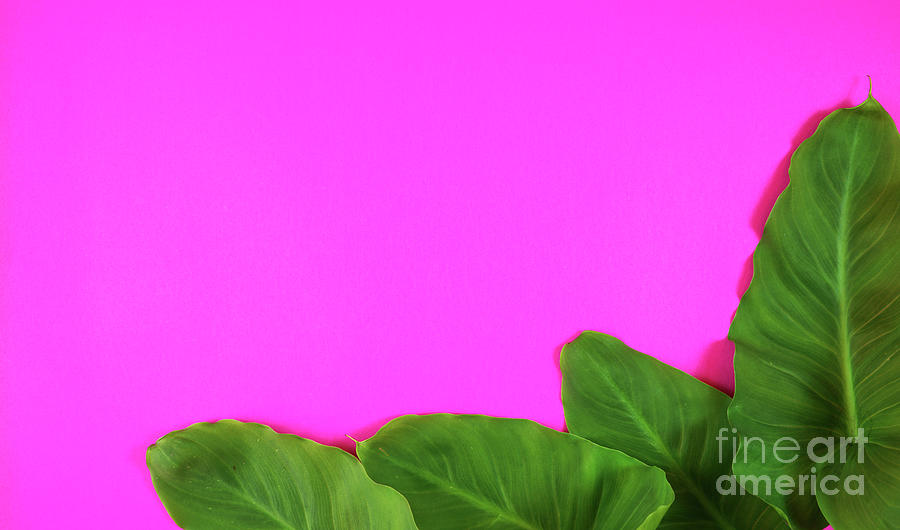 Colorful Summer Flat Lay With Tropical Leaves On Bright Pink Background Photograph By Milleflore Images Find over 100+ of the best free tropical leaves images. colorful summer flat lay with tropical leaves on bright pink background by milleflore images