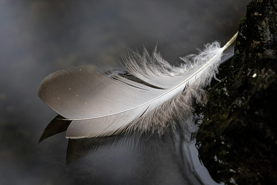 Feather Photograph - Contrast by Randy Hall
