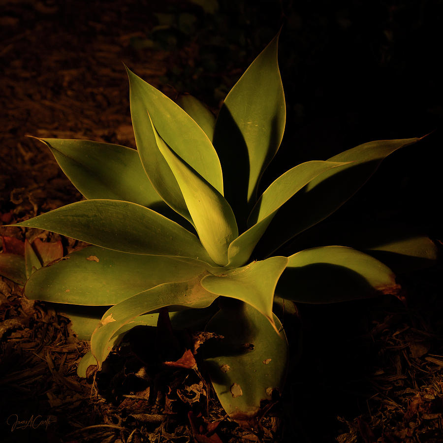 Courtyard Agave at Night by James Covello