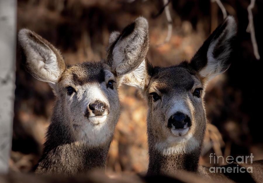 Cute Pair Of Mule Deer Photograph