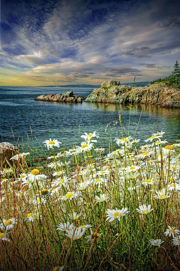 Daisies On Maines Acadia Shoreline Photograph
