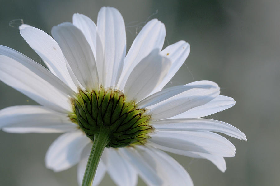 Daisy, Cowichan Valley, Vancouver Island, British Columbia Photograph