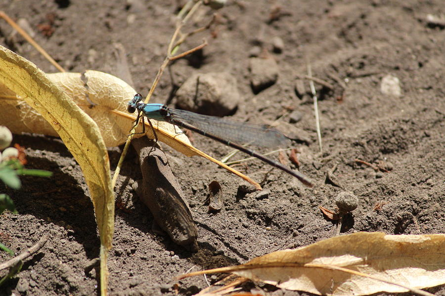 Damselfly Photograph - Damselfly by Callen Harty