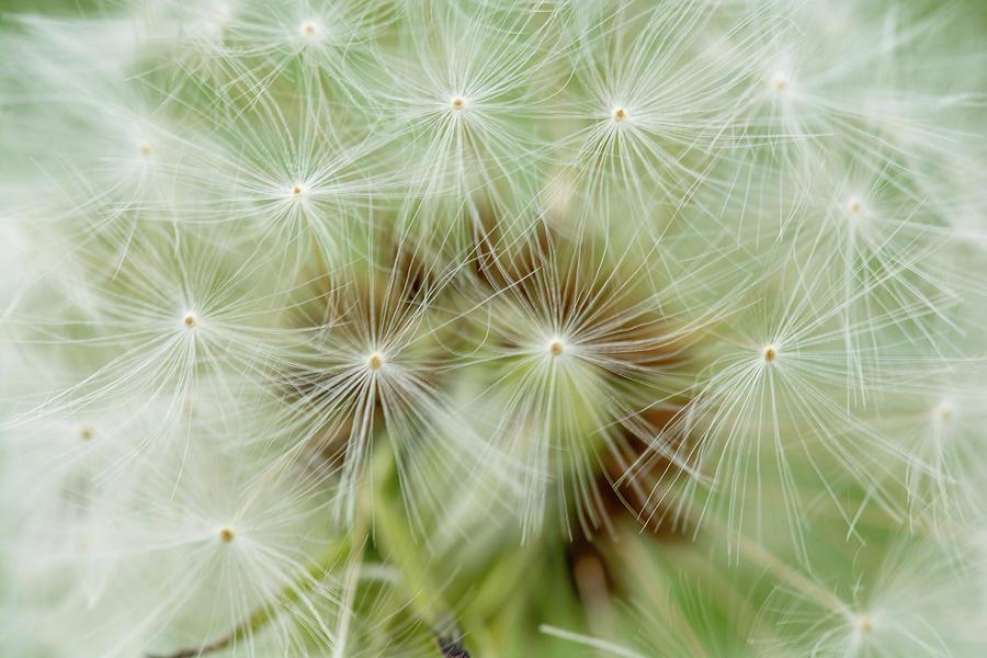 Dandelion Seeds Photograph