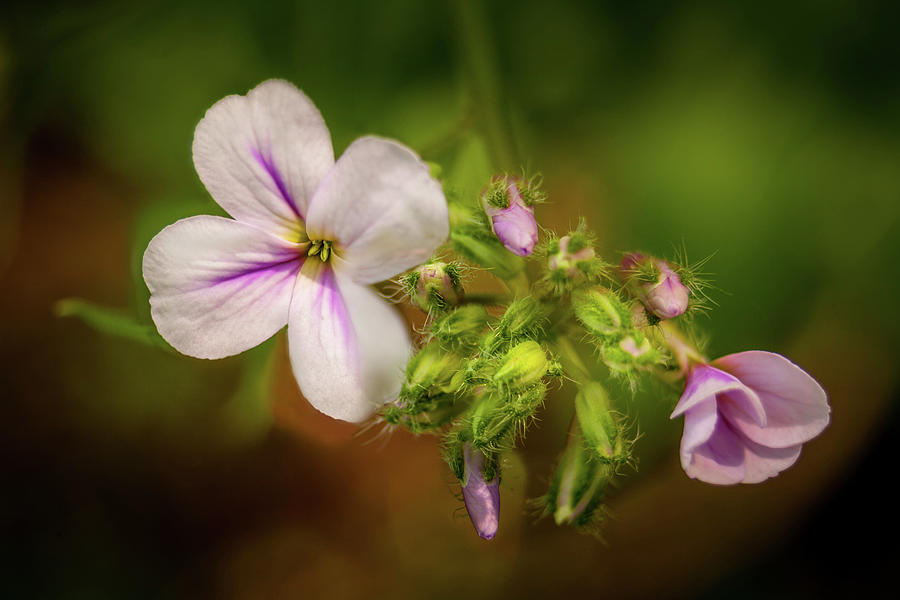 Delicate Wildflowers Photograph