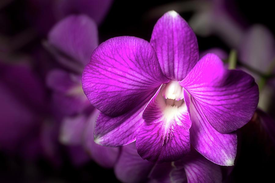 Dendrobium by Cyndy Doty