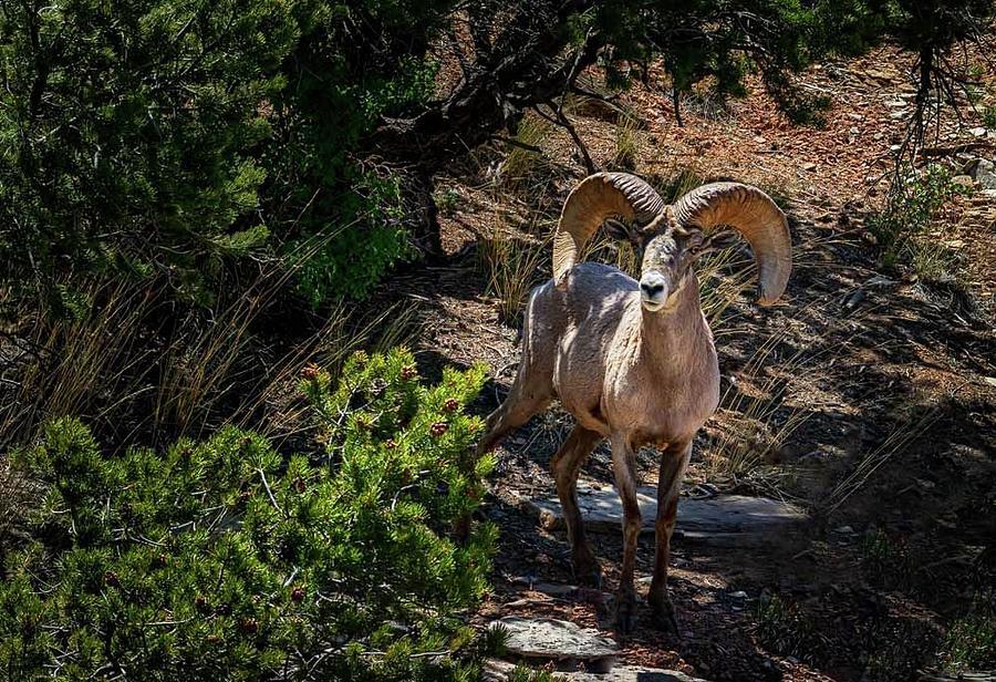 Desert Ram Photograph by Laura Terriere