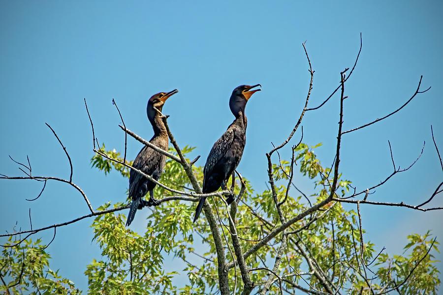 Double Crested Cormorant Pair Photograph