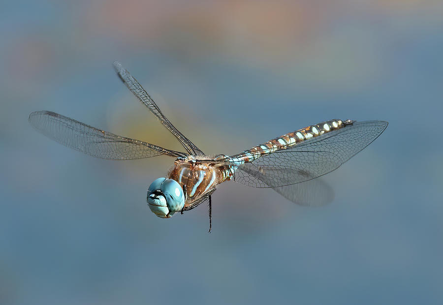 Insect Photograph - Dragonfly by Sheldon Bilsker