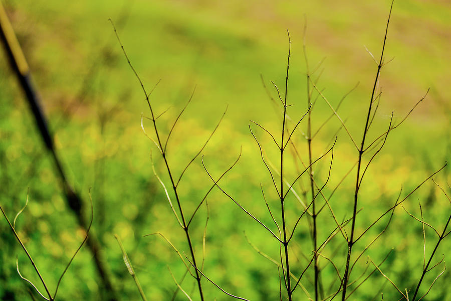 Dried Twigs From Plant In Front Of Field Of Buttercups Photograph