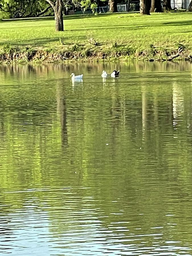 Ducks In A Pond Photograph