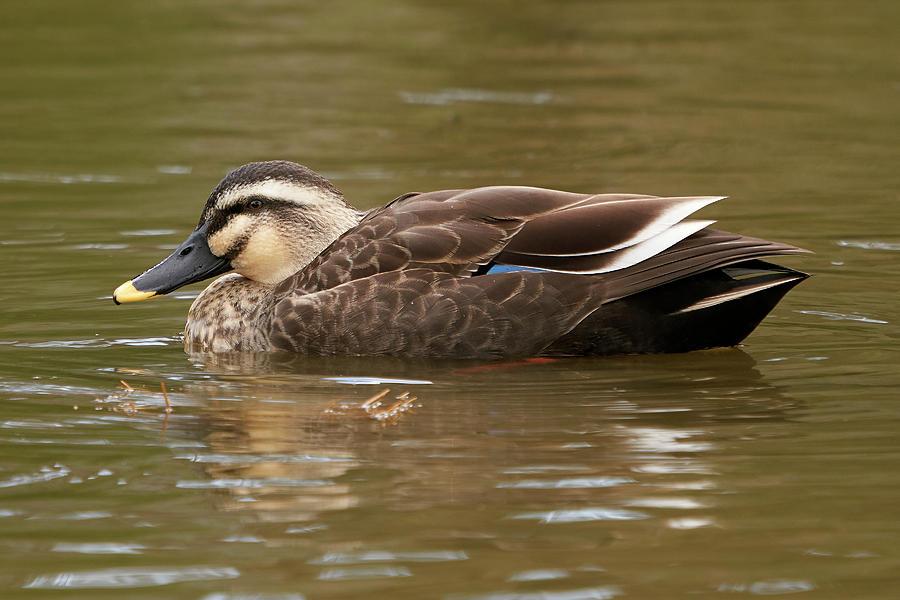 Birds Photograph - Eastern Spot-billed Duck, Nara Japan by Doug Herr