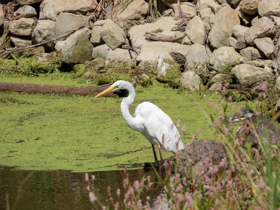 Egret Fishing Photograph