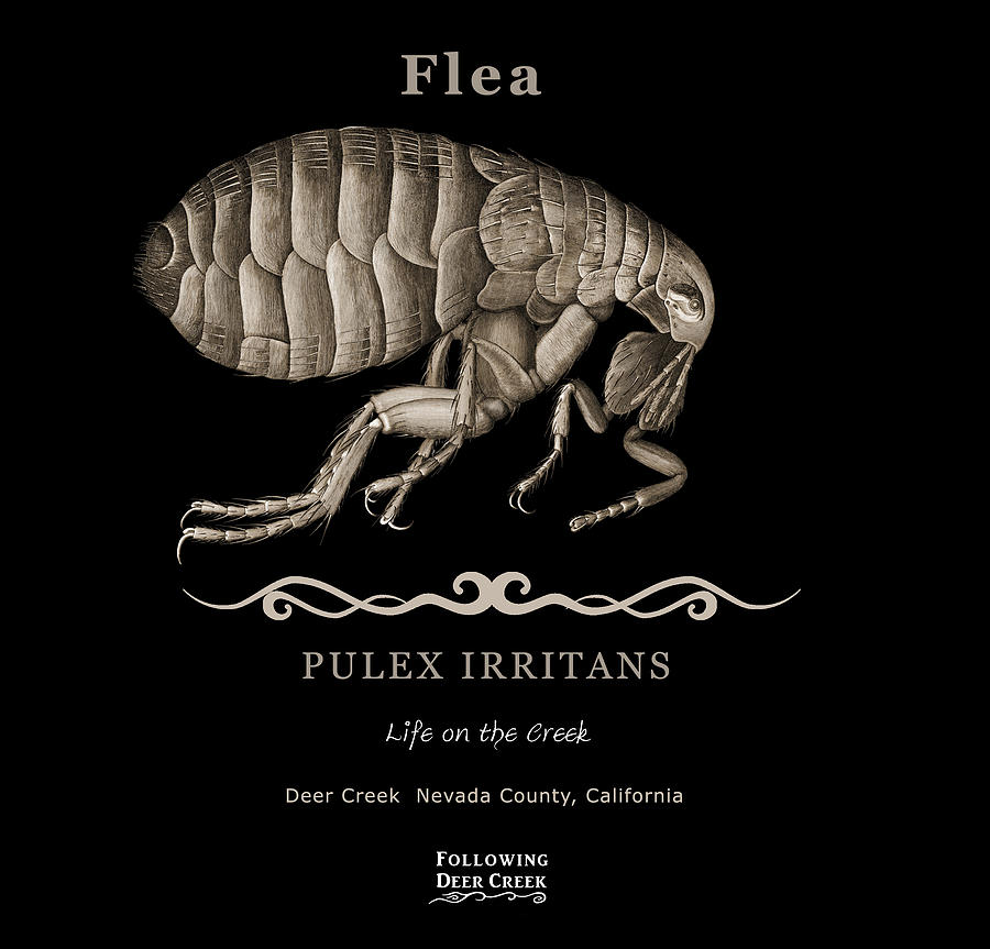 Flea by Lisa Redfern