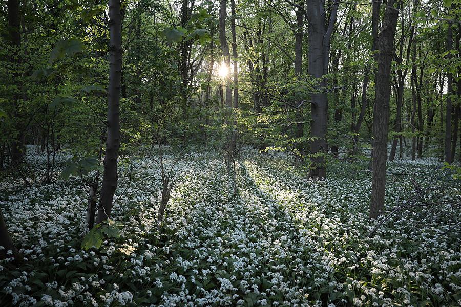 Flowering Garlic Covers Woodland Floor Photograph by Dan Kitwood
