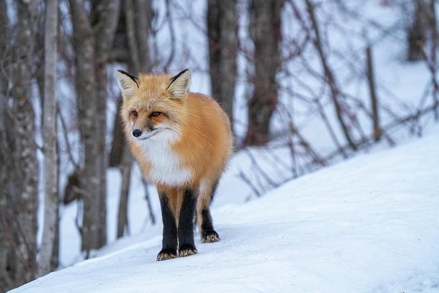 Fox Close Up Photograph