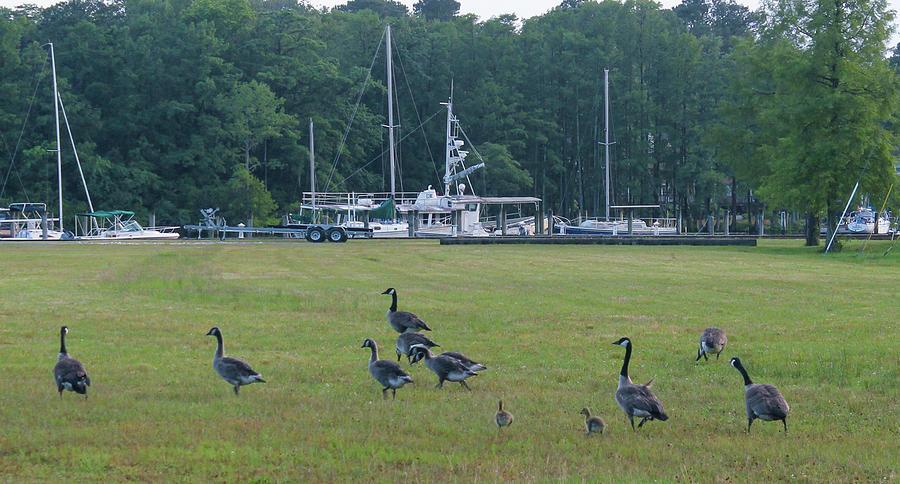 Geese Everywhere Photograph