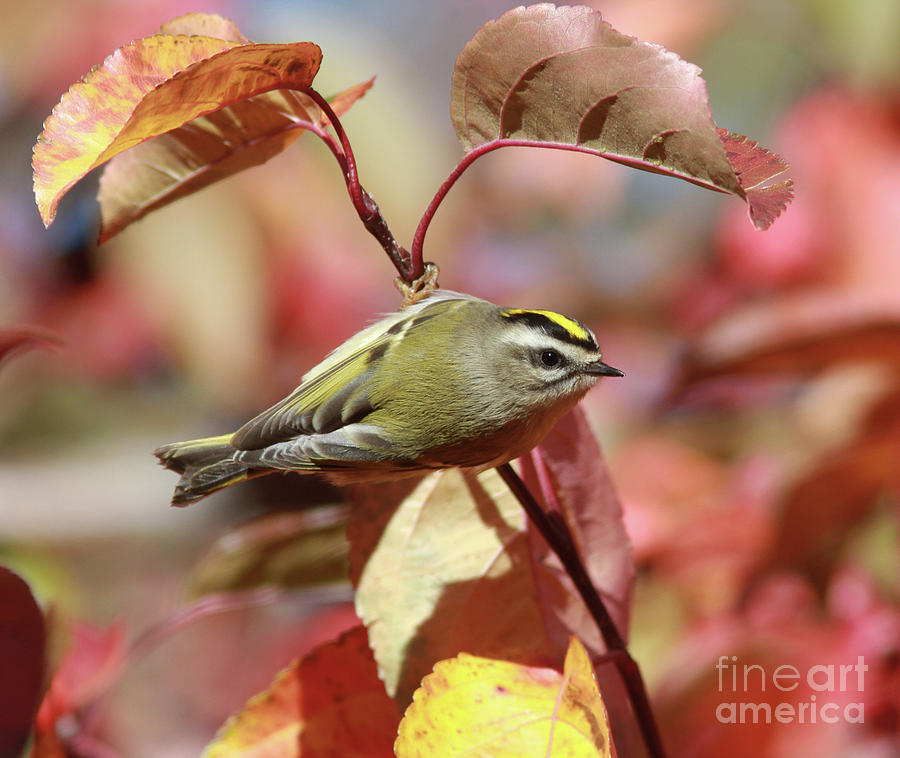 Golden-crowned Kinglet Photograph - Golden-crowned Kinglet by Gary Wing