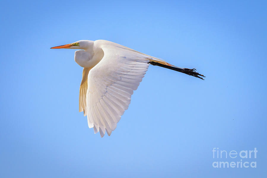 Great Egret In Flight In Oklahoma City Photograph
