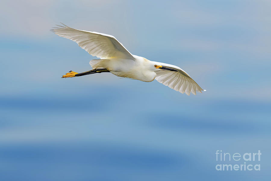 Great Egret In Flight Photograph