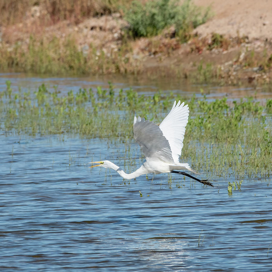 White Photograph - Great Egret by Laurel Powell