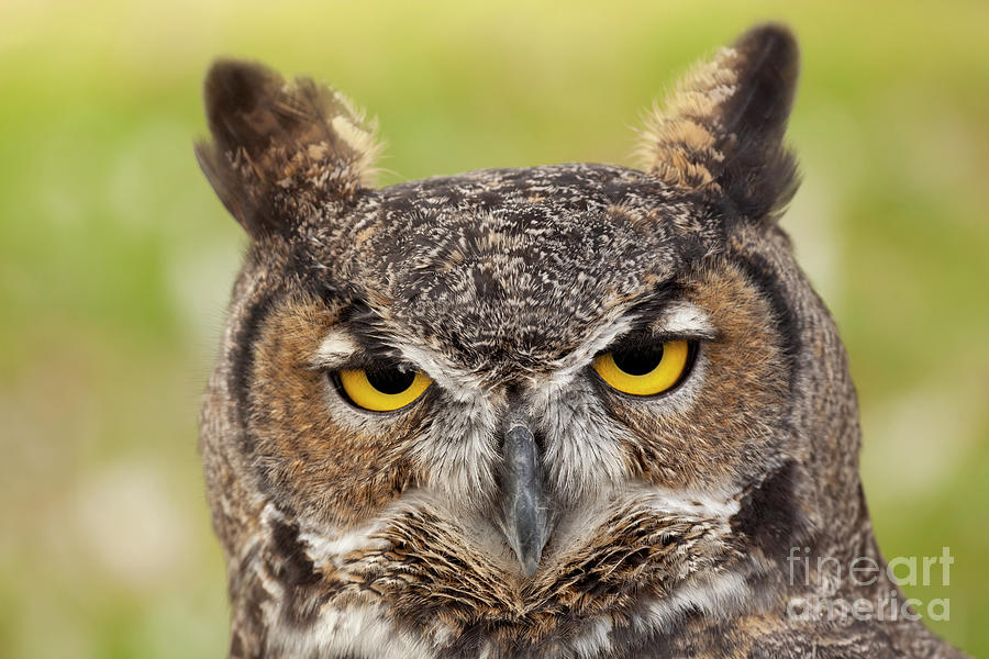 Great Horned Stare Photograph
