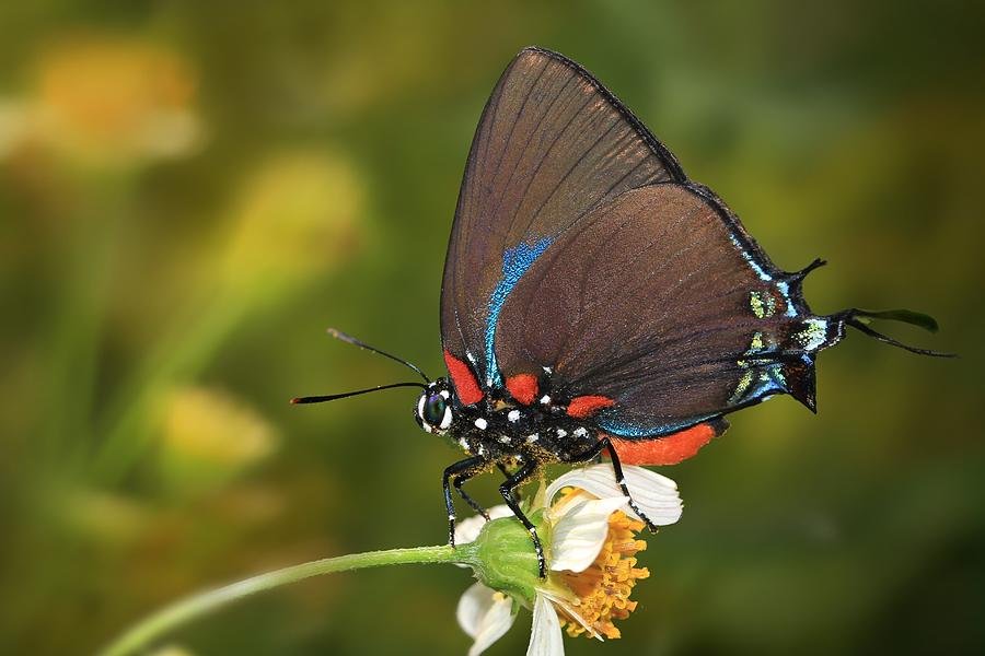 Great Purple Hairstreak II Photograph