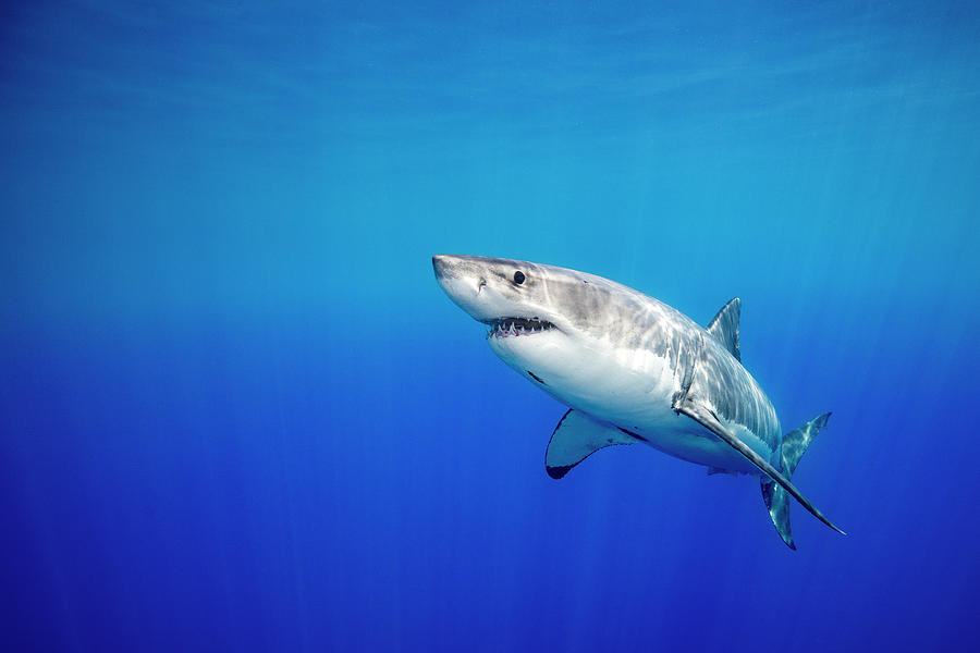 Great White Shark Photograph