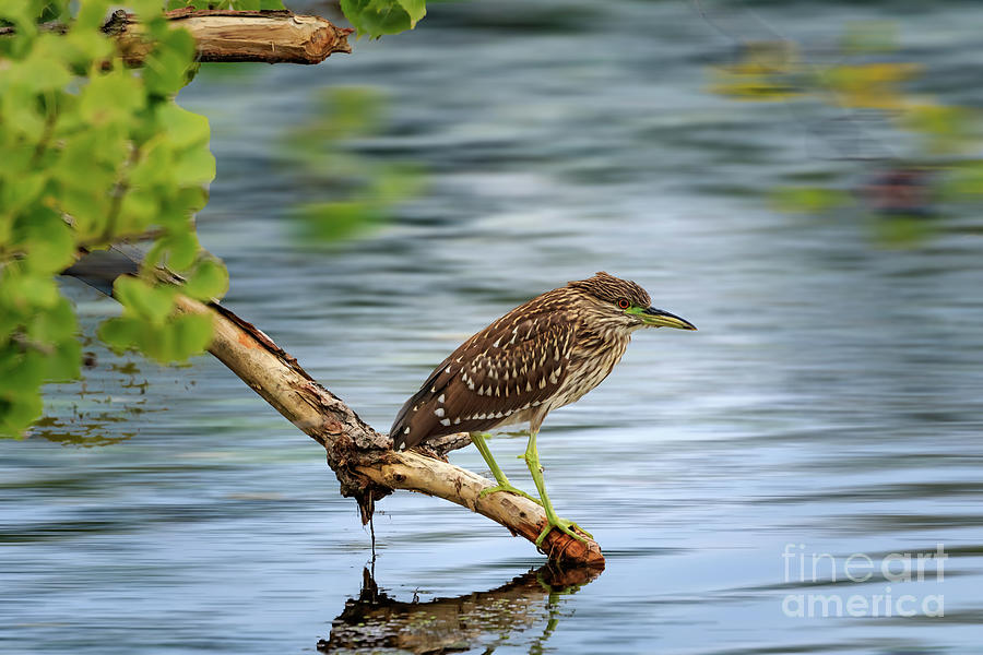 Green Heron In Brush On A Lake Shore In Ok Photograph