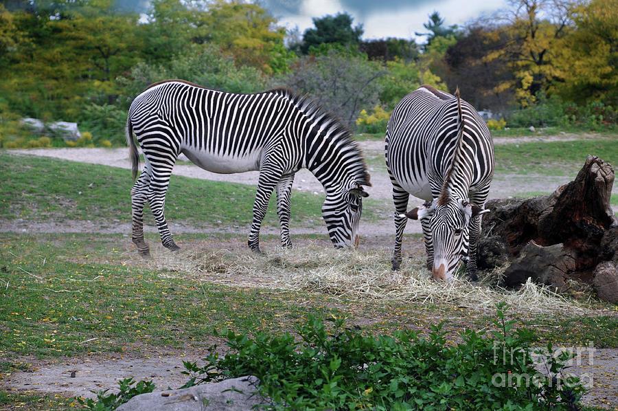 Grevys Zebra Photograph