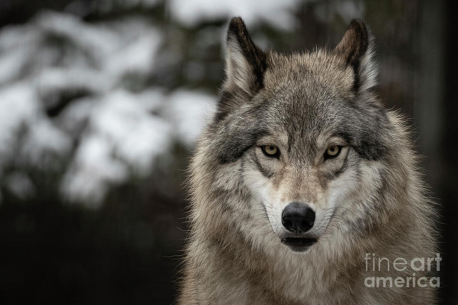Grey Wolf by Brad Allen Fine Art