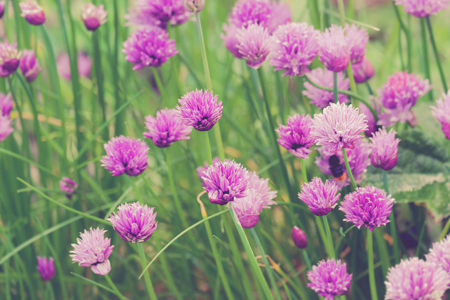 group of Chive Purple flowers in a garden Photograph