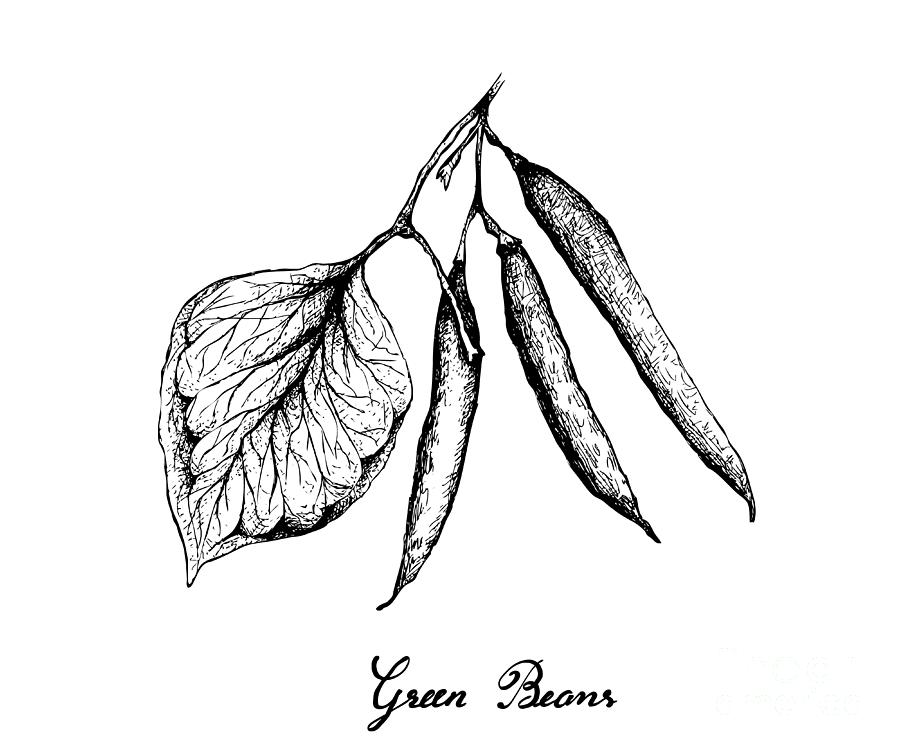 Hand Drawn Of Delicious Fresh Green Beans Drawing