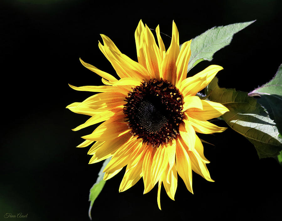 Happy Sunflower by Trina Ansel