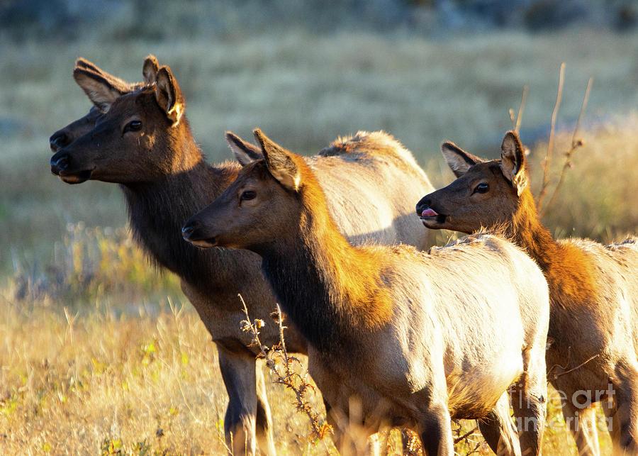 Herd of Elk Cows on a Foggy Morning by Steve Krull