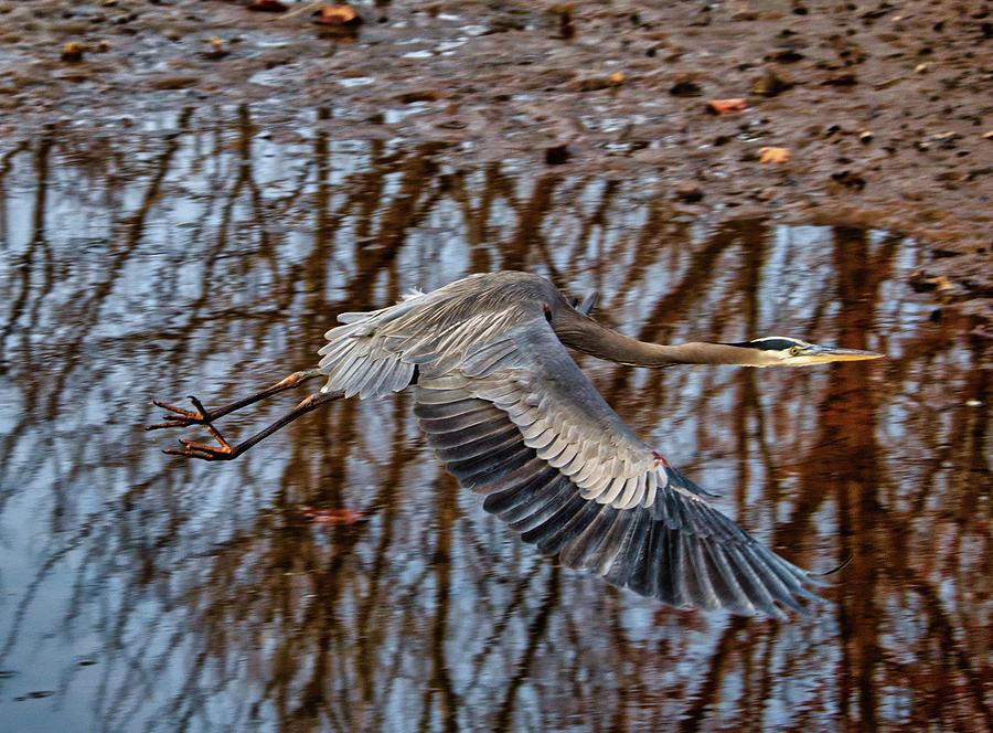 Heron in flight by Paul Ross