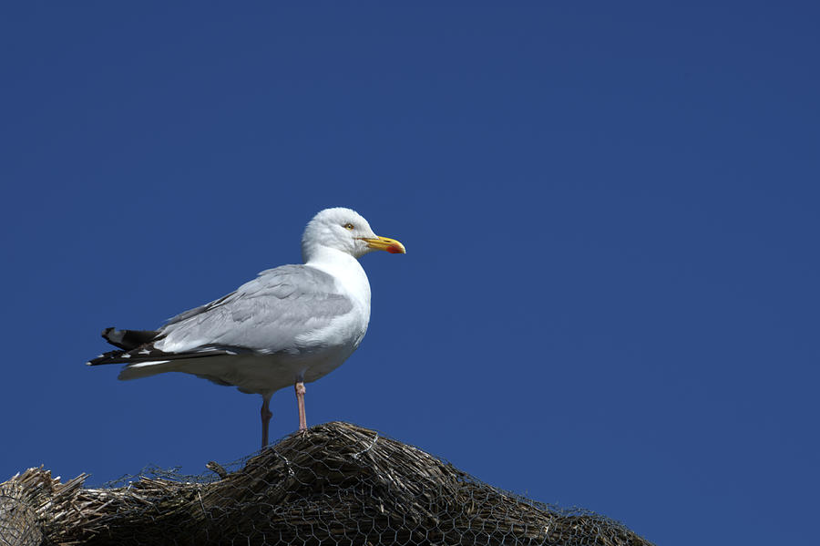 Herring Gull Photograph