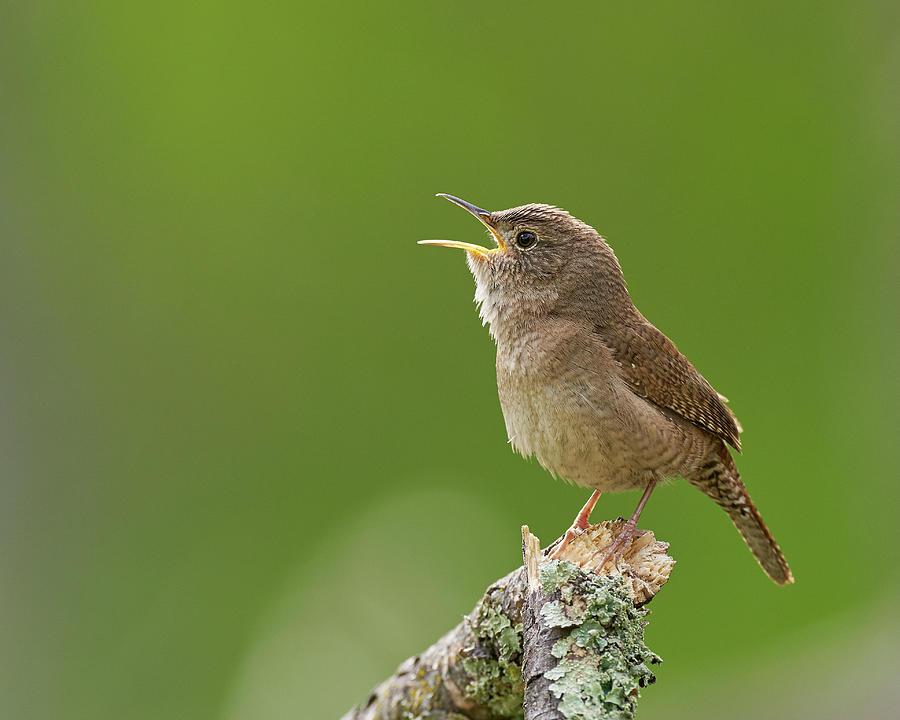 Birds Photograph - House Wren, Sacramento County California by Doug Herr