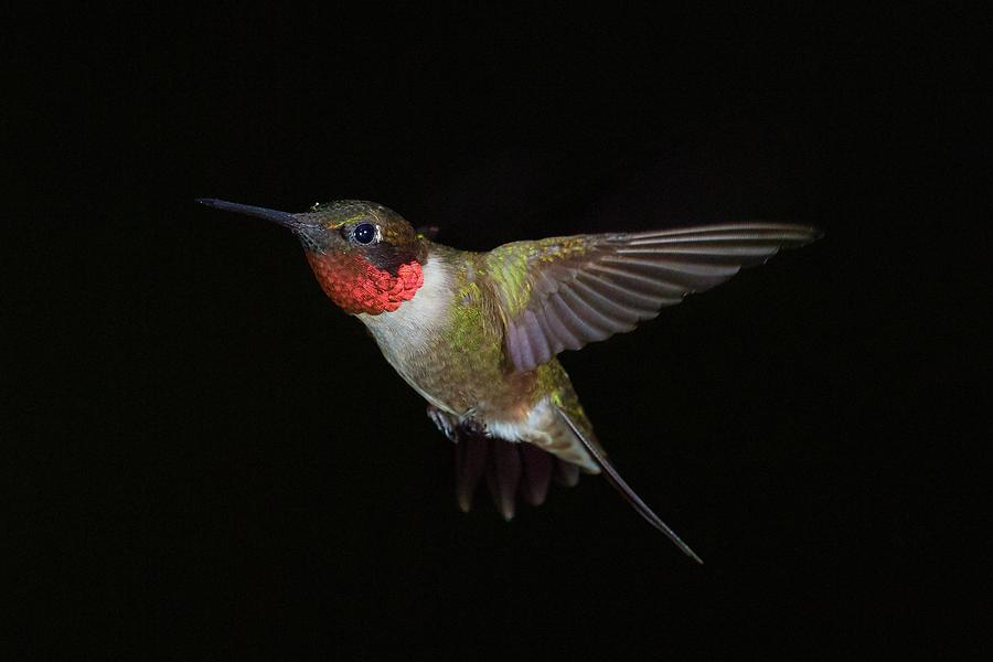 Hummingbird on Black by Paul Freidlund