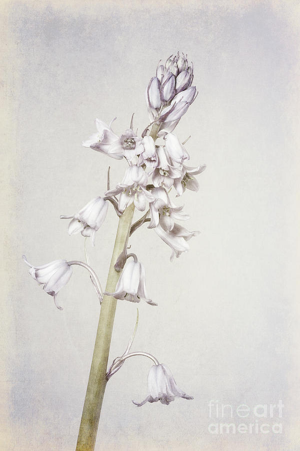 Hyacinthoides Hispanica Photograph