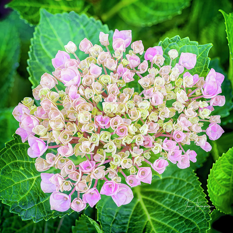 Caroline Photograph - Hydrangea by Jim Thompson