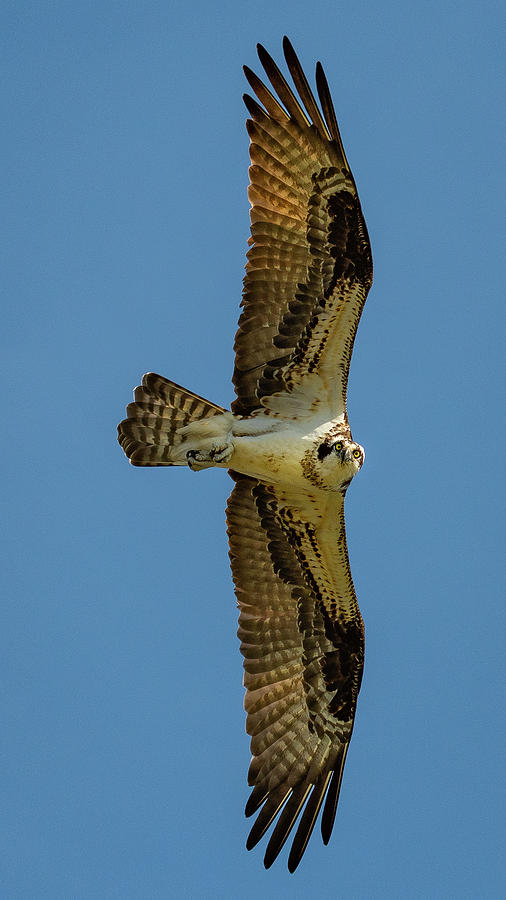 Osprey Photograph - I See You by John Roach