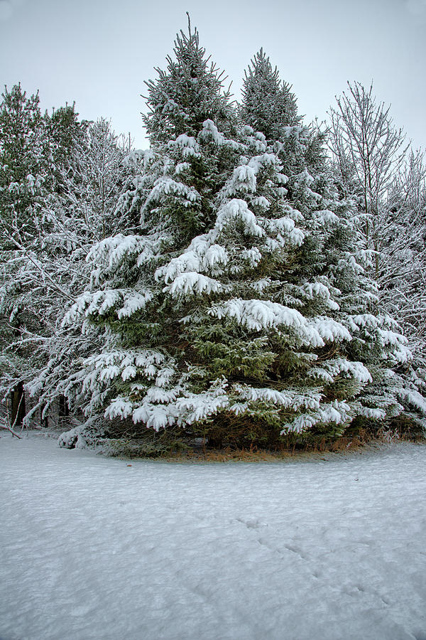 Pines Photograph - Laden With Snow 3 by Bonfire Photography
