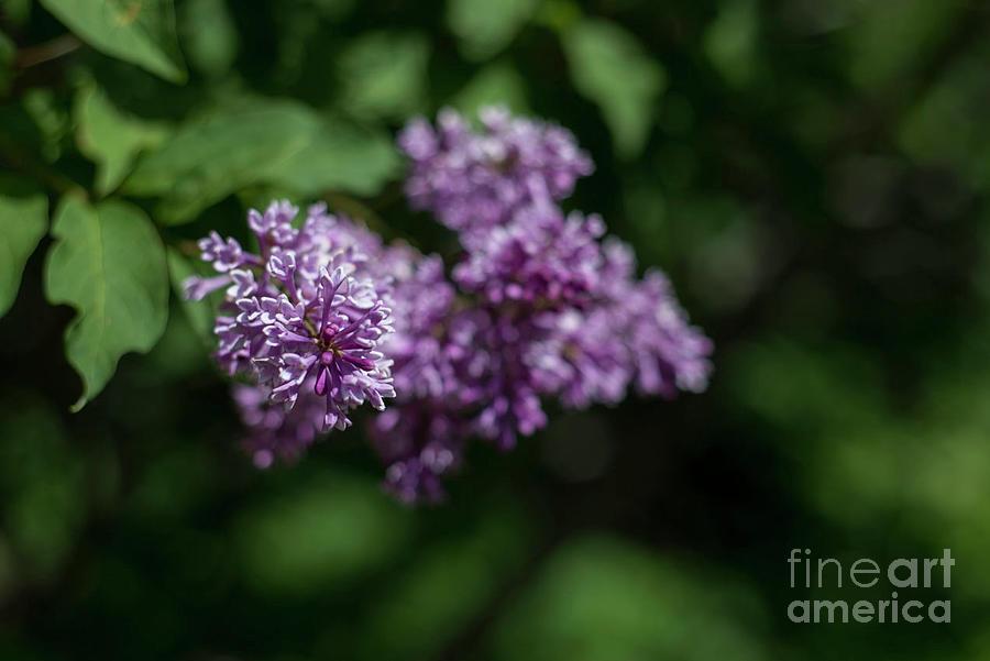 Lilac Photograph