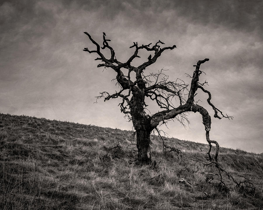 Lone oak tree on a hill by Alessandra RC